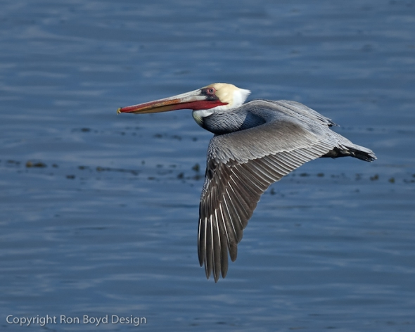 Brown Pelican in flight at La Jolla Cove