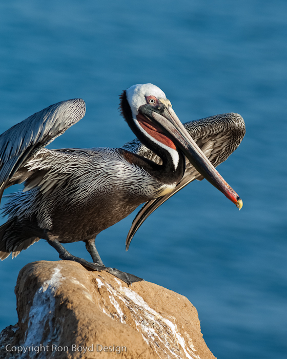 Brown Pelican jumping off a rock at La Jolla Cove