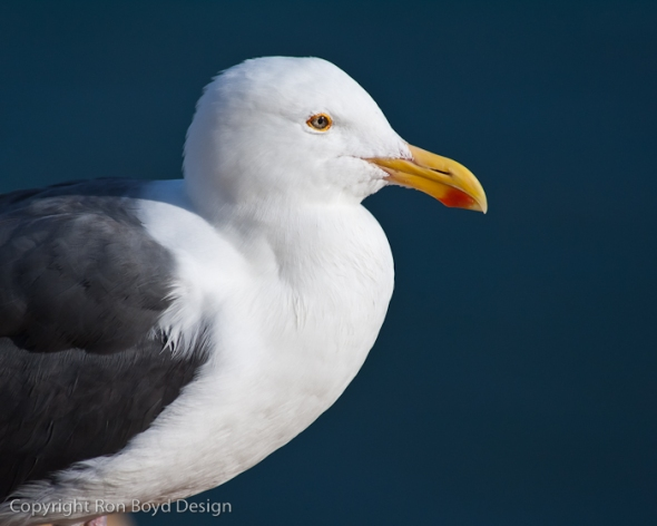 Western Gull portrait at La Jolla cove