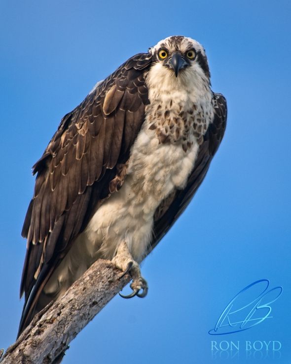 Giant Osprey stare down