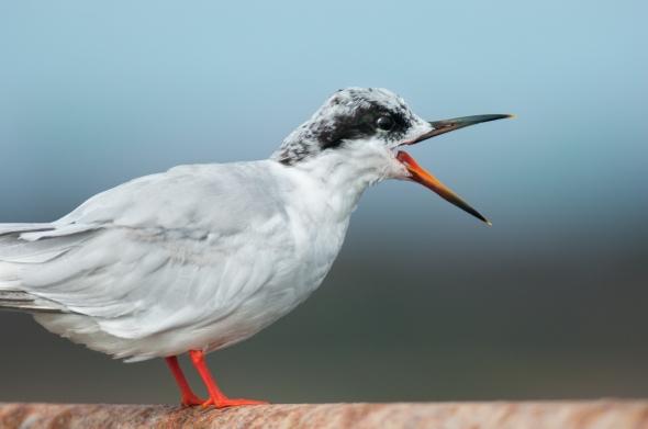 Juvenile Tern at Bolsa Chica